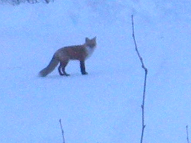 Lodge fox